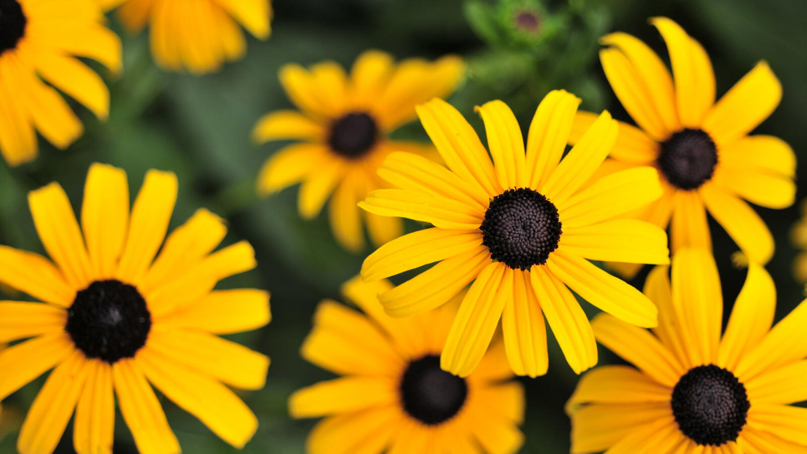 Black Eyed Susan Everything You Need To Know
